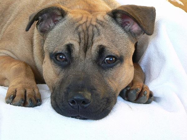 Staffordshire Bull Terrier rest