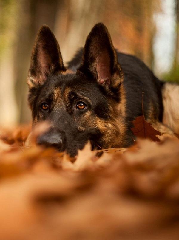 autumn german shepherd