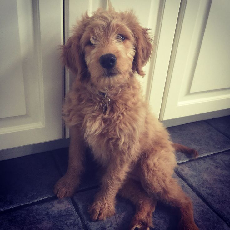 awesome goldendoodle