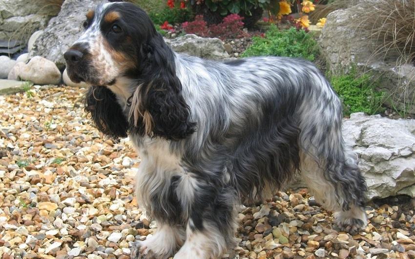 74 mest populære Cocker Spaniel hundenavne-5986