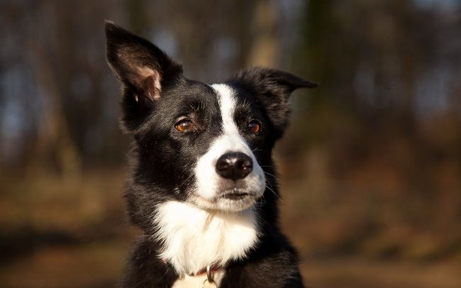 border collie pet face look