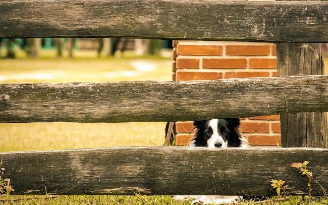 border collie pet fence