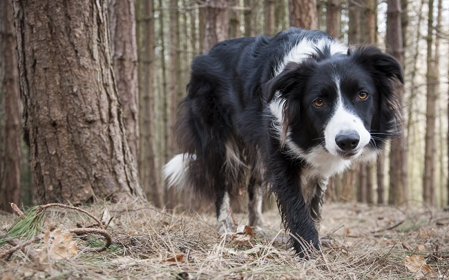 border collie pet forest