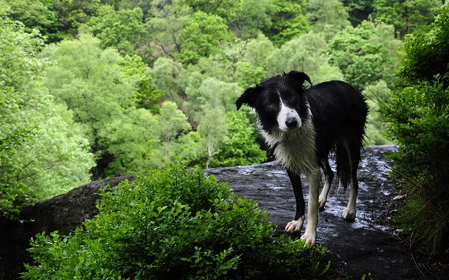border collie pet wet