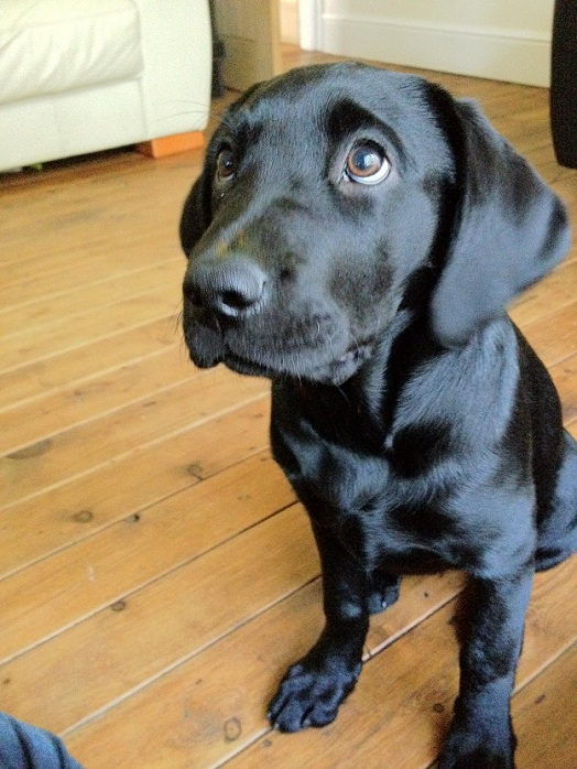 cute black lab puppies the 24 most important labrador photos of all time 7859