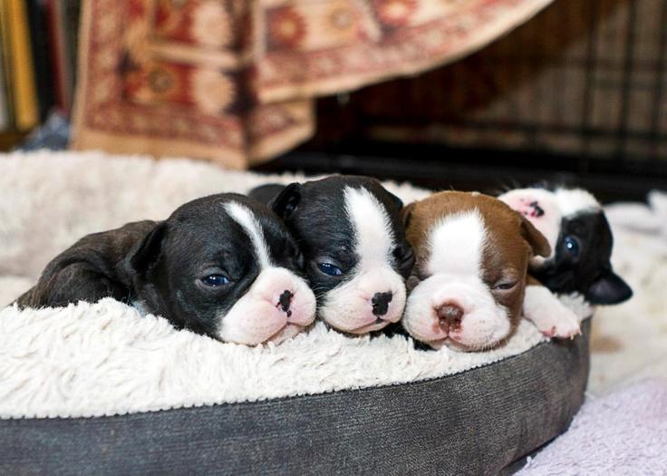 84 Most Popular Boston Terrier Dog Names 1