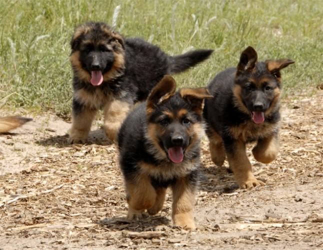 cute puppies german shepherds running
