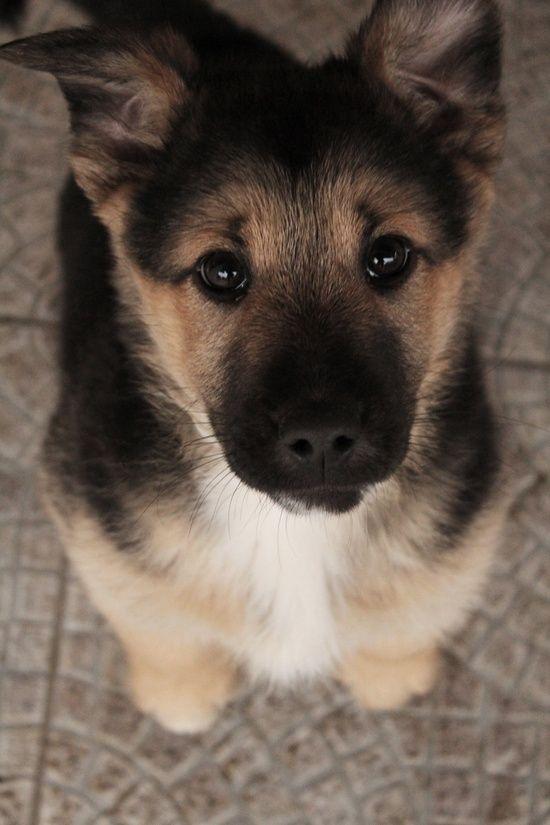 cute puppy eyes photo german shepherds
