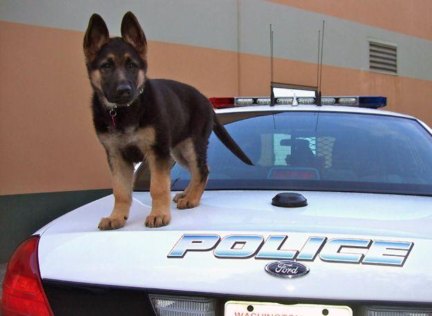 cute puppy german shepherd car police
