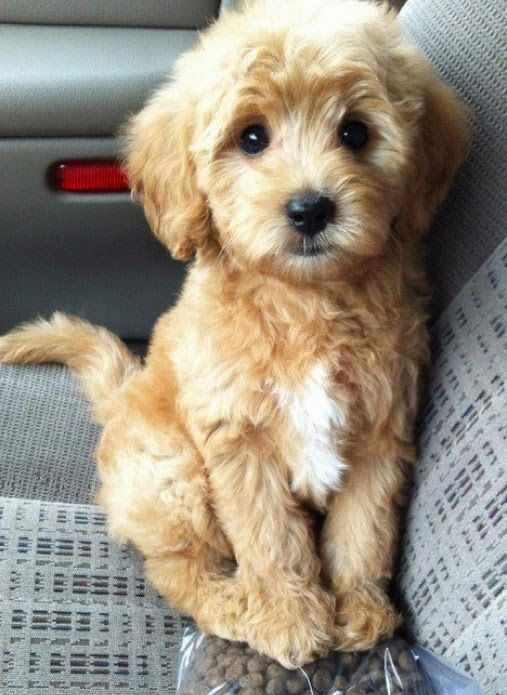 cute puppy goldendoodles