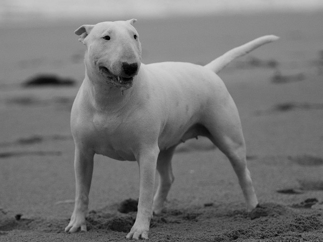 10 Best English Bull Terrier Dog Names