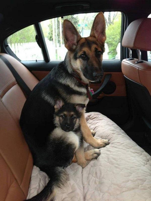 german shepherds car rides