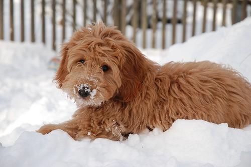 goldendoodles winter