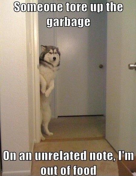 husky guilty dog
