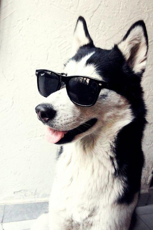 husky in sunglasses
