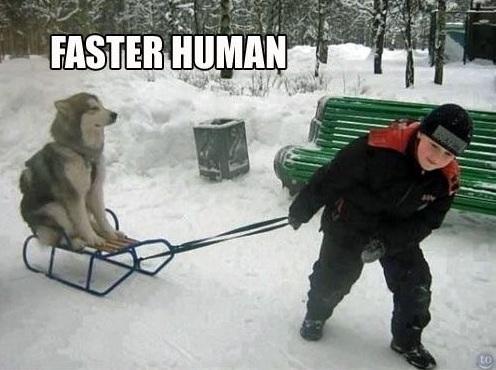 husky sledge dog