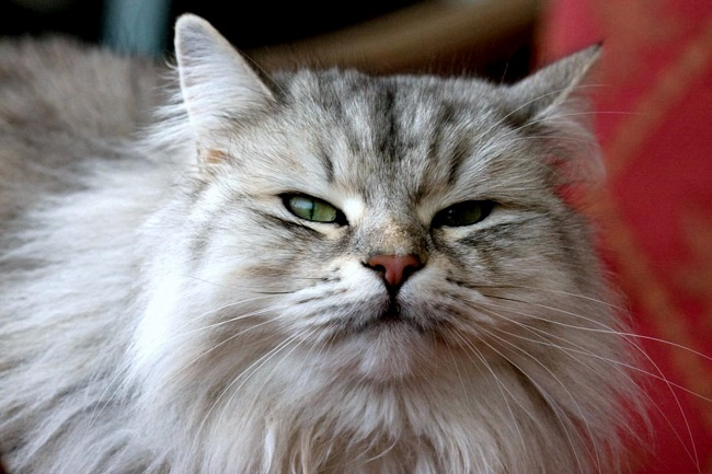 59 Most Popular Maine Coon Cat Names