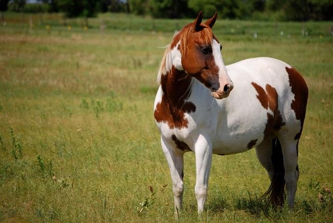 paint-horse photo