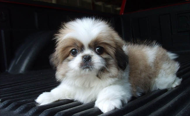 8 Facts About Shih Tzu You Didnt Know
