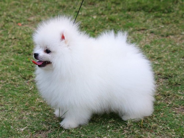 65 Most Popular Pomeranian Dog Names