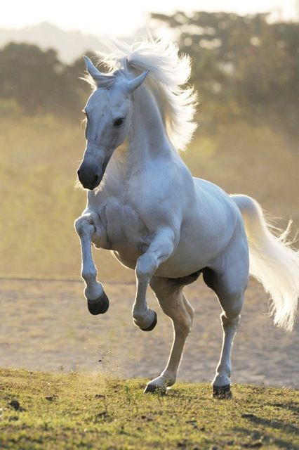White running horses - photo#31