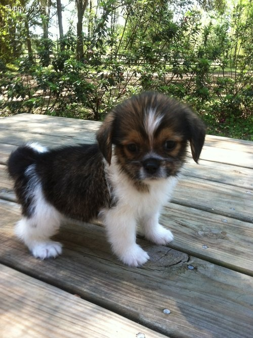 shih tzu mix breeds 35 unreal shih tzu cross breeds you have to see to believe 9853