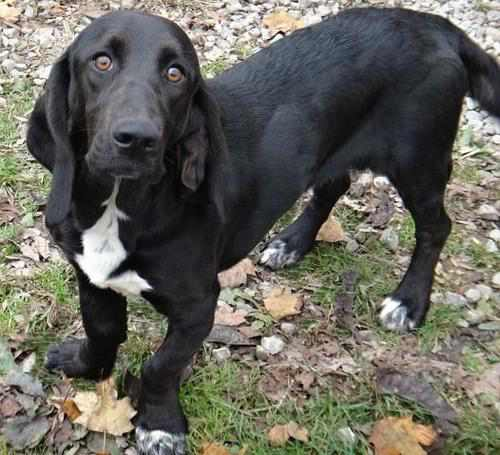 Black Lab Basset mix