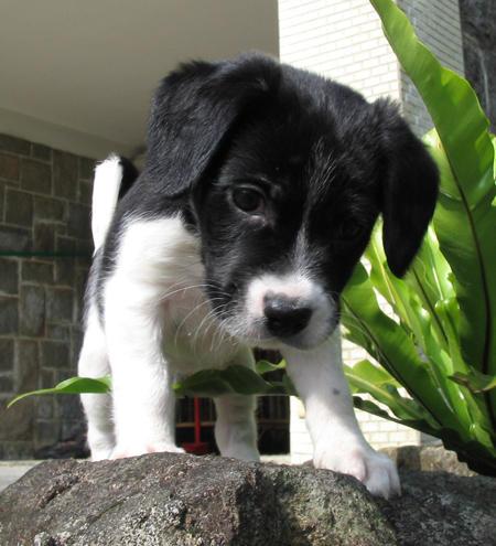 Border Collie Beagle mix