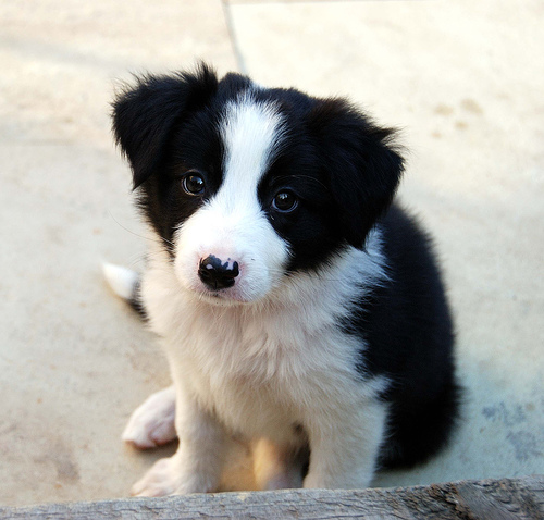16 Reasons To Avoid Border Collies At All Cost