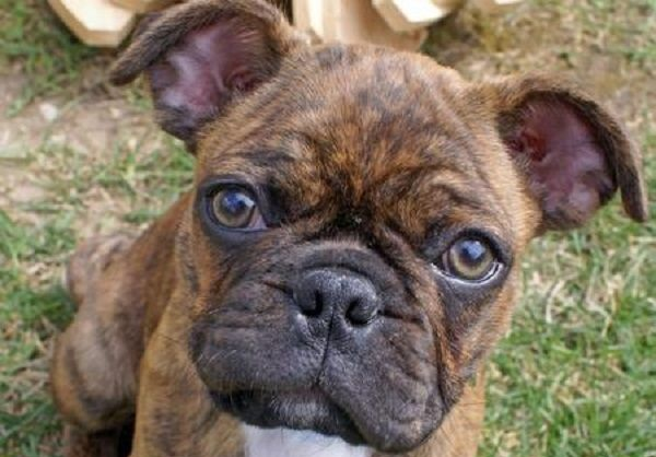 16 Unreal Pug Cross Breeds You Have To See To Believe