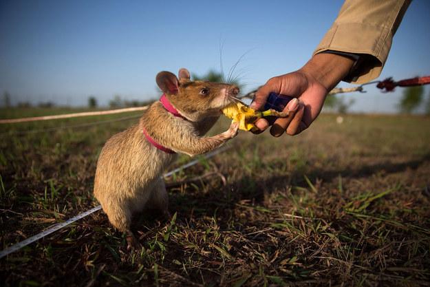 Cambodian rats