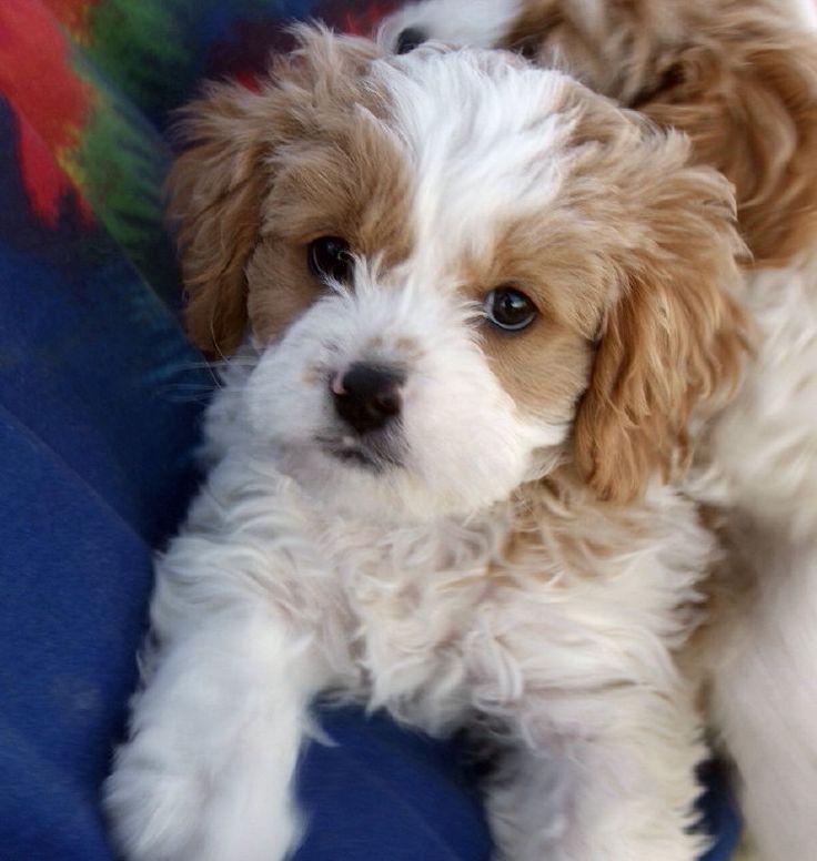 Labrador Retriever 4 Sale 10 Unreal Cavalier Kin...
