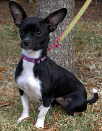 bull terrier chihuahua mix 14 unreal boston terrier cross breeds you have to see to believe 3702