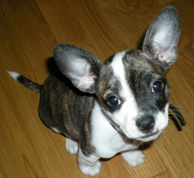 chihuahua french bulldog mix 12 unreal chihuahua cross breeds you have to see to believe 8265