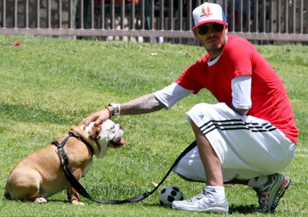David Beckham bulldog