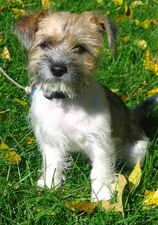 Fox Terrier Adult Dog For Sale