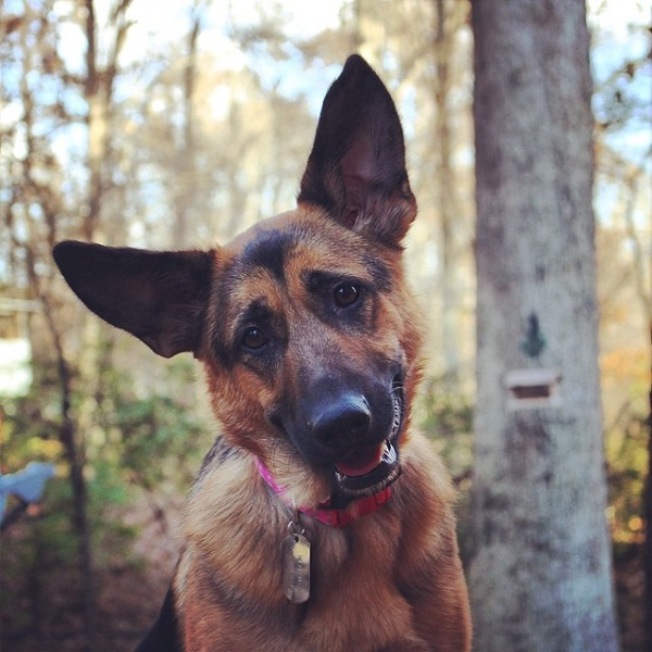 19 Reasons German Shepherds Are Actually The Worst Dogs To Live With