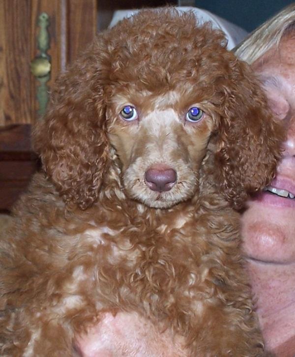 Ginger green eyes poodle