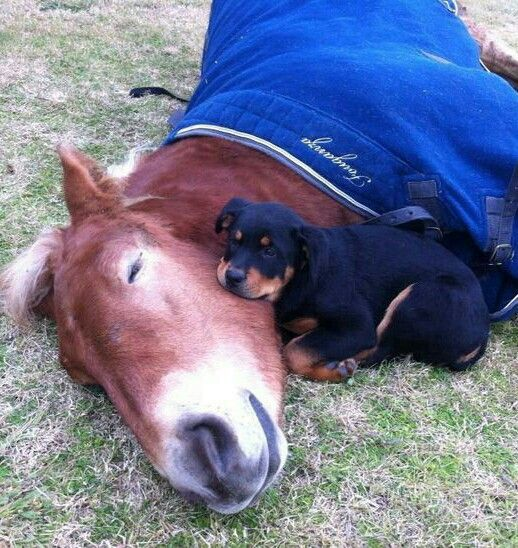 Napping horse with rottweiler