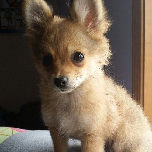 chihuahua pomeranian mix full grown 12 unreal chihuahua cross breeds you have to see to believe 9733