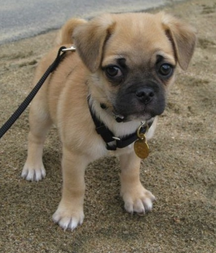 pug mixed with chihuahua 12 unreal chihuahua cross breeds you have to see to believe 6104