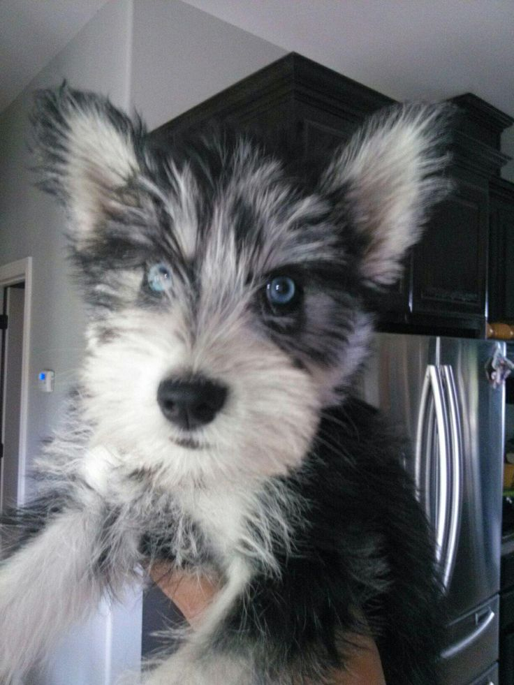 12 Unreal Husky Cross Breeds You Have To See To Believe