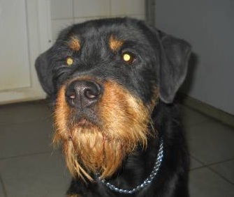 rottweiler pug mix 12 unreal rottweiler cross breeds you have to see to believe 7265