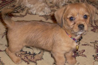 shih tzu daschund 34 unreal dachshund cross breeds you have to see to believe 9243