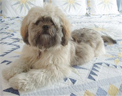 shih tzu lhaso apso 35 unreal shih tzu cross breeds you have to see to believe 3468