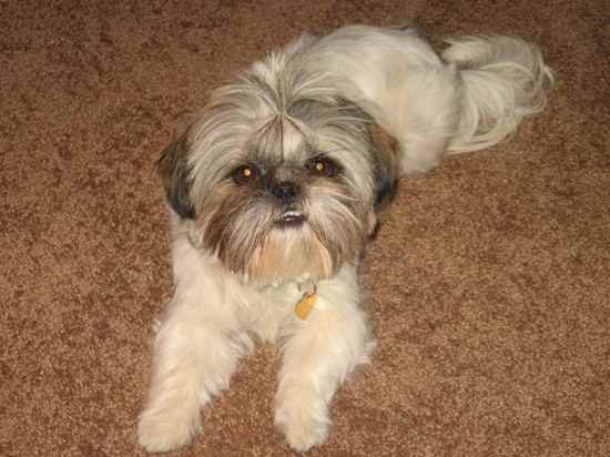 shih tzu mix with pekingese 35 unreal shih tzu cross breeds you have to see to believe 9565