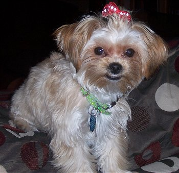 yorkshire terrier and shih tzu mix 14 unreal yorkshire terrier cross breeds you have to see 2838