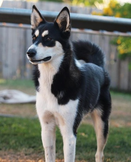 12 Unreal Border Collie Cross Breeds You Have To See To ...  Husky