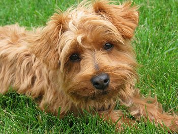 14 unreal yorkshire terrier cross breeds you have to see