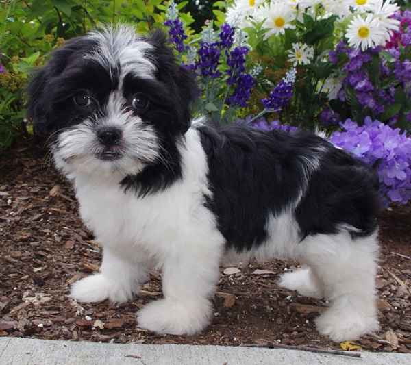 35 Unreal Shih Tzu Cross Breeds You Have To See To Believe